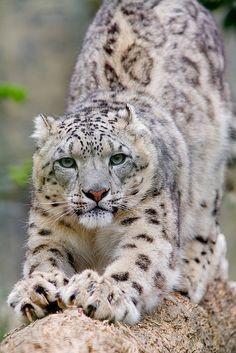 Leopardo de las nieves - Animal -> Por: Angel Catalán Rocher <- Sígueme!