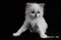 2014: Carrera A Zwollywood Cat. 7 Weeks old Ragdoll kitten, blue bicolour. Cars litter.