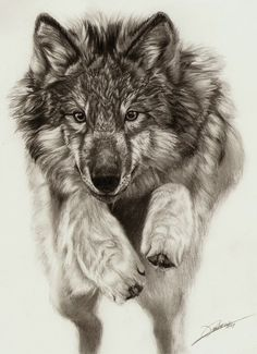 A beautiful wolf drawing