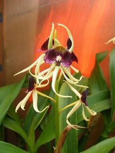 Prostechea cochleata - I bought a baby one of these today.