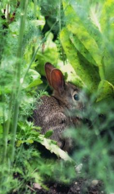 Bunny in the vegetable garden