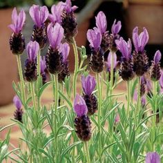 Spanish Lavender - Care Guide (Home Depot - Garden Club)