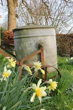 spring daffs in wild meadow.  dorset, england