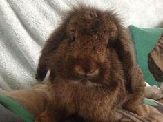 Jimmi, Lionhead Lop Rabbit, 2 Years, RSPCA Walsall Branch
