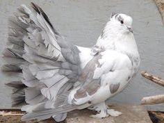 hd pigeon ile ilgili görsel sonucu