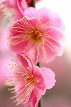Pink Japanese apricot blossoms