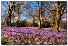 Springtime Crocuses in Walsall Arboretum. Staffordshire Uk, Walsall, West Midlands, Flora And Fauna, Spring Time, Roots, Home And Garden, England, Places