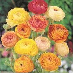 Ranunculus - If you're lucky enough to be living in Zones 8 to 11 (which covers Arizona, California, Louisiana, Nevada, New Mexico and Texas) then you can be sure that you'll experience and get the most from your Ranunculus bulbs as you experience the ideal Ranunculus growing conditions. You want to be planting the bulbs out in November or October and you'll get to enjoy the Ranunculus flowers in the following March.  http://www.ranunculusbulbs.com/