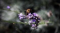 Bee  © Sándor Daku