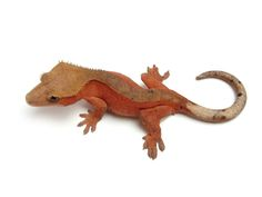 Red Bi-Color | The Urban Gecko Classroom Pets, Crested Gecko, Geckos, Urban, Red, Animals, Color, Animales, Animaux