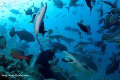 The Fiji Shark Dive - Shark Media