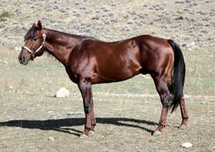 American Quarter Horse Stallion at Stud, Nu Freckles Cody. Cody tested negative for hypp, pssm, mh, gbed and herda! when you only get one foal a year why choose an unproven stud? See ad and contact seller today: http://myhorseforsale.com/horses-for-sale/details/?hid=26872 .