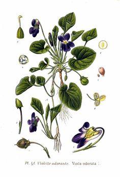 Ilustración de la planta Viola odorata o violeta silvestre