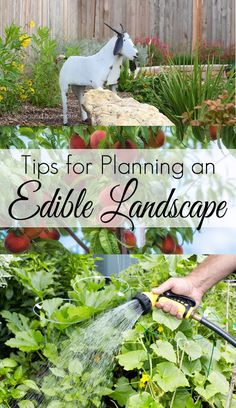 If you don't have room for a vegetable garden you may want to consider creating an Edible Landscape. Use fruits and vegetables as your feature plants and your garden landscape will be both beautiful and practical. Edible Plants, Edible Flowers, Edible Garden, Landscaping Tips, Garden Landscaping, Organic Gardening, Gardening Tips, Kitchen Gardening, Landscape Arquitecture