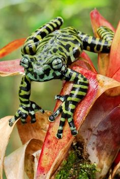 Tiger's Treefrog on bromeliad (Hyloscirtus tigrinus)