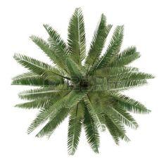 Palmier isolé. Jubaea chilensis vue de dessus Banque d'images