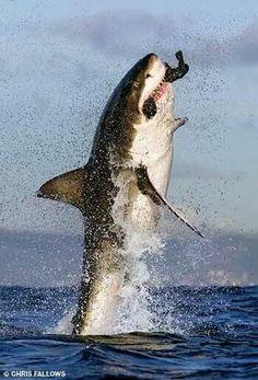 Weißer Hai mit Beute im Maul - Haie - Sharks - Tiburones - Requins - Squali - Haaien - акулы - ฉลาม - Katzen Nature Animals, Animals And Pets, Baby Animals, Cute Animals, Orcas, Shark Art, Dangerous Animals, Megalodon, Great White Shark