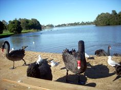 I live in Gippsland Victoria in a town called Sale. One of the most beautiful spots is the man made Lake Guthridge