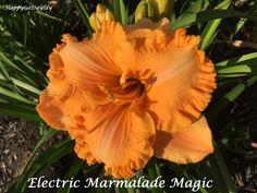 Electric Marmalade Magic photo by HappyGoDaylily