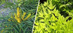 Combine Lemon Lime Nandina and Soft Caress Mahonia for Easy-Care Beauty and Landscape Impact Ground Covers For Sun, Soft Caress Mahonia, Lemon Lime Nandina, Green Ground, Dynamic Duos, Spring Landscape, Evergreen Shrubs, Garden Borders, Companion Planting