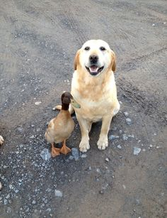 Yellow Labrador Has A Friend
