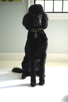"""""""So tall. So serious. Black Standard Poodle, Standard Poodles, Toy Poodle Puppies, Poodle Mix, Poodle Cuts, Therapy Dogs, Hunting Dogs, Beautiful Dogs, Dog Care"""