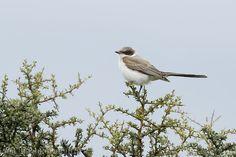 mis fotos de aves: Tyrannus savana Tijereta Fork-tailed flycatcher