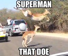Superman Of Animal Version