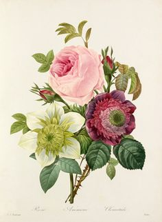 Vintage Botanical Art Prints: Anemone, Rose, Clematis Illustration by Redoute… Flowers Illustration, Illustration Blume, Vintage Botanical Prints, Botanical Drawings, Antique Prints, Vintage Botanical Illustration, French Illustration, Botanical Flowers, Botanical Art
