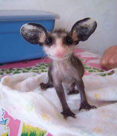 Possum et Opossum (4)