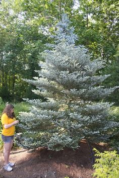 Silver Korean fir (Abies koreana 'Horstmann Silberlocke ...