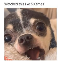 Video by fiftyshadesofcarneasada Funny Animal Jokes, Funny Dog Memes, Funny Dog Videos, Cute Funny Dogs, Cute Funny Animals, Funny Chihuahua Pictures, Cute Animal Videos, Cute Animal Pictures, Cute Dogs And Puppies