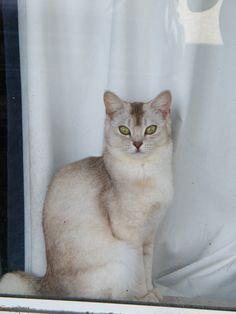 Pictures of Burmilla Cat Breed