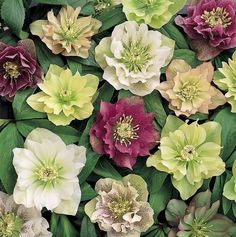Helleborus x hybridus 'Double Queen' from Pine Knot Farms http://www.pineknotfarms.com/new-retail-6.html