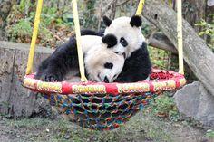 Fu Hu and his mother Yang Yang at the Vienna Zoo. © Josef Gelernter.  gnamm