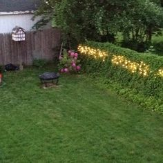 """Lights or """"fireflies"""" in ivy fence"""