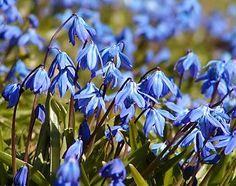 """Scilla siberica - """"Die aus Osteuropa stammende Zwiebelpflanze des Blausternchen blüht Ende März/Anfang April."""" Gepflanzt wird sie als Blumenzwiebel im Herbst."""