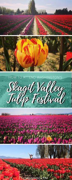 Each year in April, the fields of Skagit Valley bloom into a quilt of technicolor tulips. Here's how to attend the annual Skagit Valley Tulip Festival.