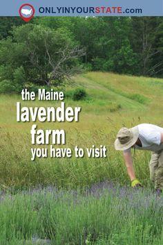Travel | Maine | Lavender Farm | Farms | Nature | Flowers | Beautiful Places