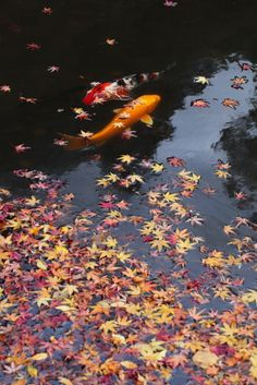 Fallen Leaves And Japanese Koi Carps (by happy__bear). °