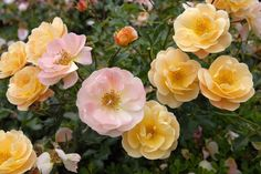 Monrovia's Flower Carpet® Amber Groundcover Rose details and information. Learn more about Monrovia plants and best practices for best possible plant performance. Yellow Shrubs, Ground Cover Roses, Bulbs And Seeds, Monrovia Plants, Fountain Grass, Shrub Roses, Plant Catalogs, Garden Care, Orange Flowers