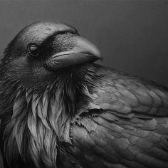 raven                                                       …