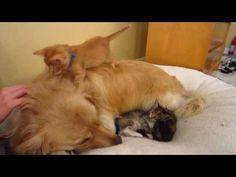 Silly Orange Foster Kitten Walking On Big Dog's Back - 5 Weeks Old - Golden Retriever - YouTube