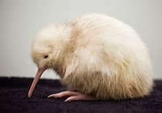 Kiwi  Fun Fact: The kiwi is the national bird of New Zealand. This picture is of a rare white kiwi.
