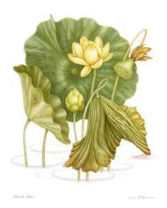 Dianne McElwain Nelumbo lutea American Lotus