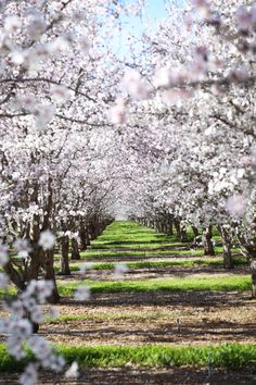 Almond orchards in bloom just spectacular We agree Via Hither and Thither pinned via Arbor Day Foundation Almond Farm, Arbor Day Foundation, Tree Tunnel, Spring Aesthetic, Arbour Day, Tree Photography, Flower Fairies, Farm Gardens, Fruit Trees