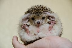 Long-eared hedgehog??? Those exist?! Just when I thought they couldn't get any cuter!!