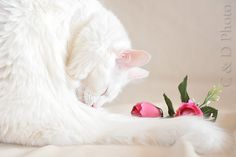 Dax, our turkish angora male cat in such a romantic way !