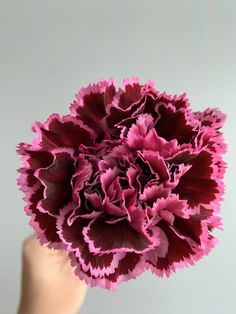 This deep burgundy carnation with hints of wine red is surprising and breathtaking . Carnation Colors, Carnation Bouquet, Red Carnation, Pink Carnations, Burgundy Flowers, Deep Burgundy, Colorful Flowers, Beautiful Flowers, Flower Sleeve