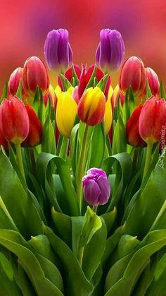 Tulipanes de púrpura  amarillo y rojos